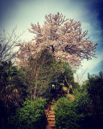 道中に撮った三峯神社の桜